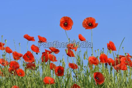 papaver rhoeas common poppy red poppy
