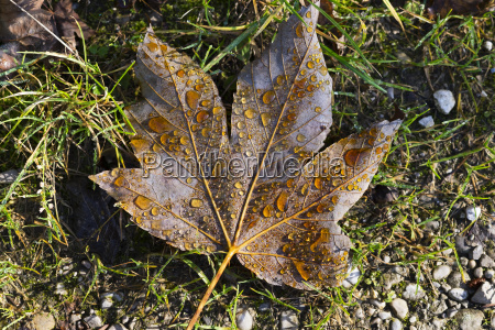 maple leaf with dew drops