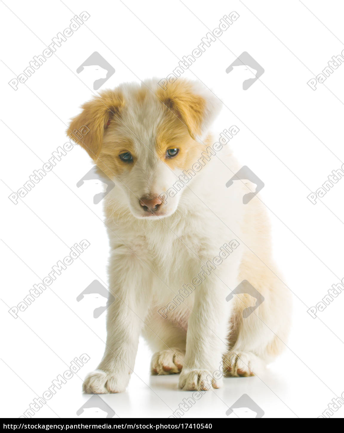 Border Collie Puppy Royalty Free Photo 17410540 Panthermedia Stock Agency