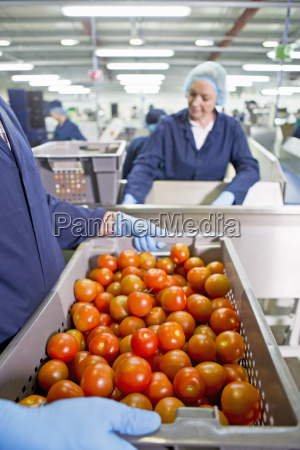 worker carrying bin of ripe red