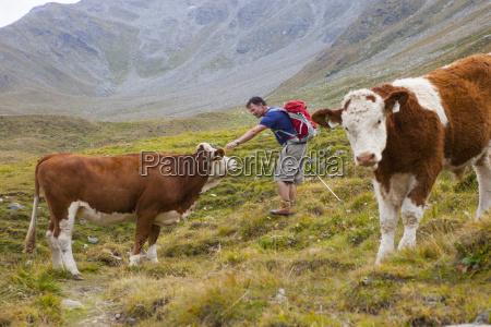 a male hiker pets a cow