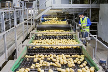 worker on platform examining potatoes on