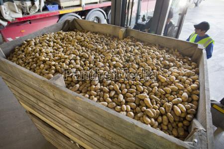 workers behind large bin of potatoes