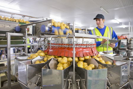 worker watching potato sorting on production