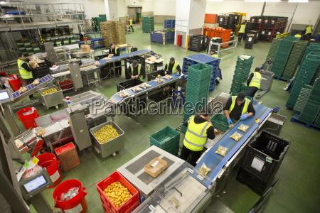 workers packaging potatoes in food processing