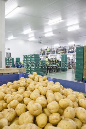 fresh harvested potatoes in bin in
