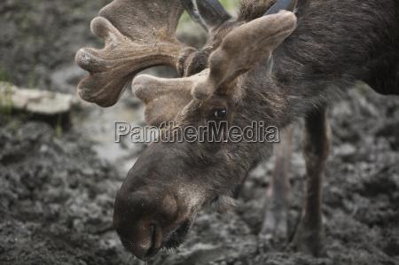 a bull moose near muncho lake