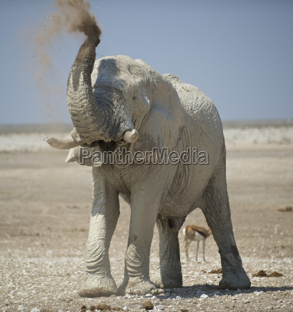 an elephant cools itself off at