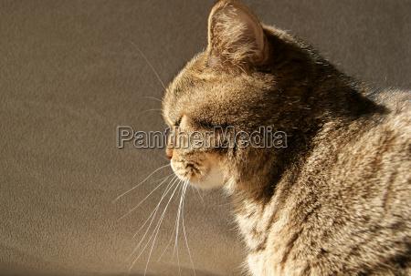 british cat sitting in sun side