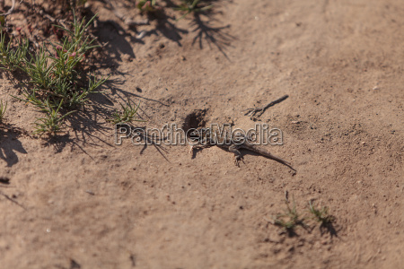 brown common fence lizard