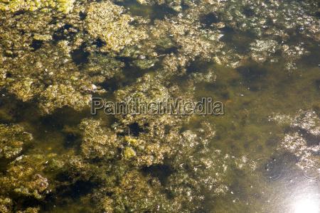 seaweed in a lake