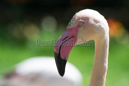 pink flamingo phoenicopterus roseus