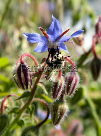 wild flower and bumblebee collecting polen