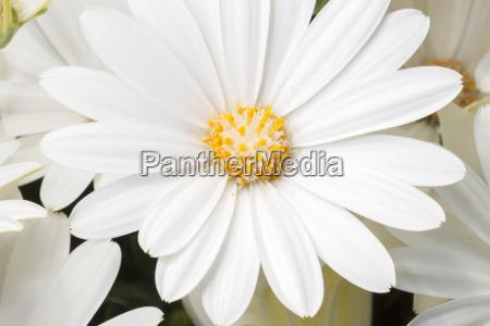 white daisy bushes close up