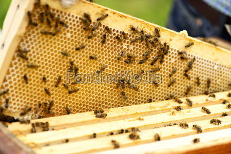 honeycomb frame of a hive