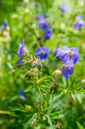 blue flowers of the field close