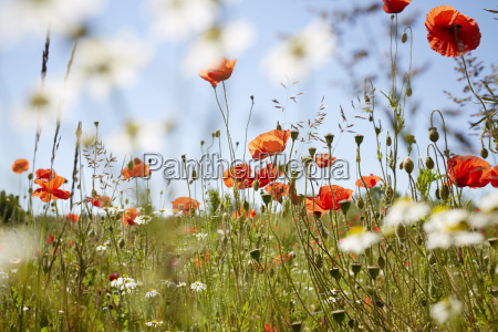 red field poppies and camomile in