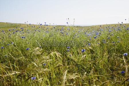 field of blue cornflowers in summer