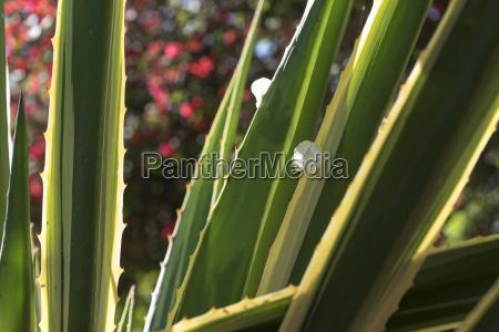 close up of succulent plant majorelle