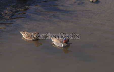 green winged teal anas crecca