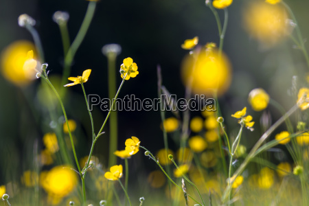 yellow buttercup meadow