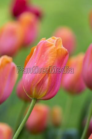 beautiful purple yellow tulips in spring