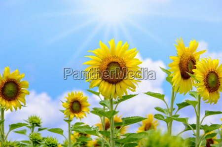 sunflower or helianthus annuus on sky