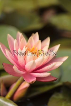 pink water lily flower on top