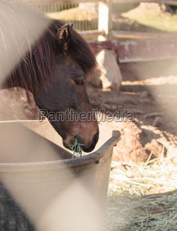 brown icelandic horse eats hay outside