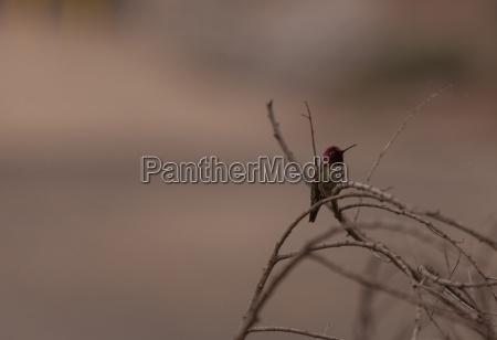 male annas hummingbird calypte anna is