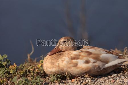 mottled duck anas fulvigula sitting at