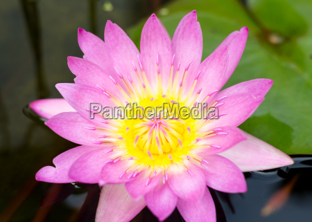 Lotus Blossom With Lily Pad Royalty Free Image 17723850