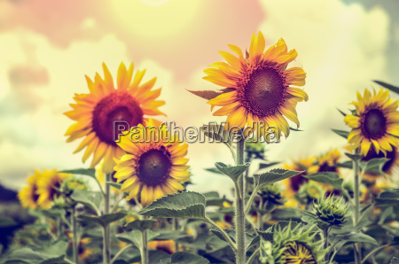 vintage style of the sunflower