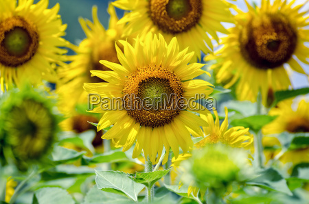 sunflower or helianthus annuus in the
