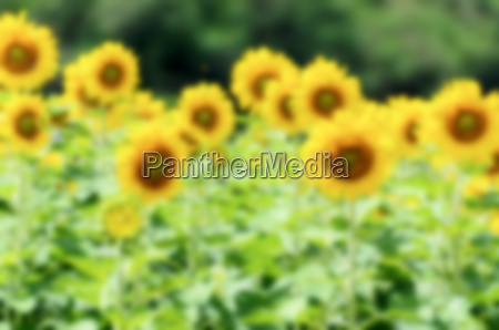 blur background of the sunflower