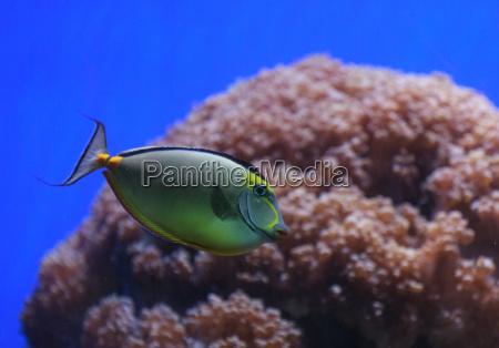 naso tang fish naso lituratus