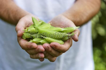 mans hands holding fresh picked sugar