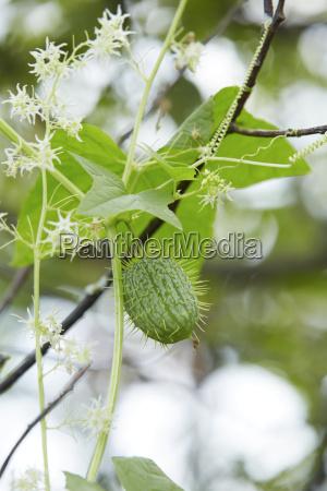 close up of wild cucumber plant