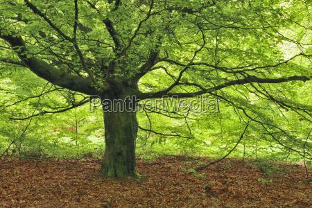 beech tree in forest sababurg reinhardswald