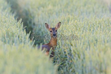 female roe deer capreolus capreolus in