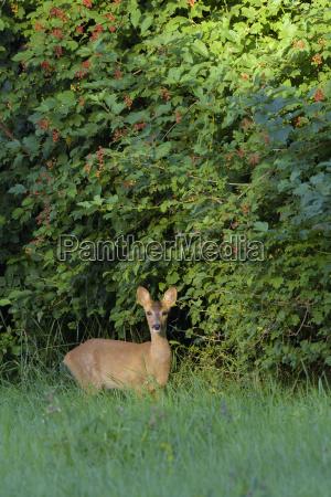 european roe deer capreolus capreolus fawn