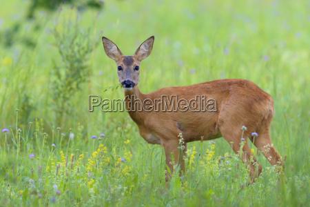 european roe deer capreolus capreolus in