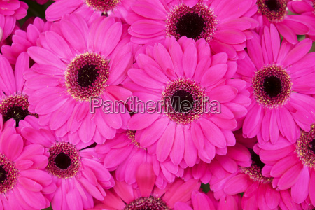 close up of bright pink gerbera