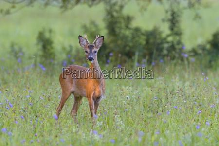 western roe deer capreolus capreolus on