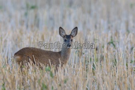 western roe deer capreolus capreolus fawn