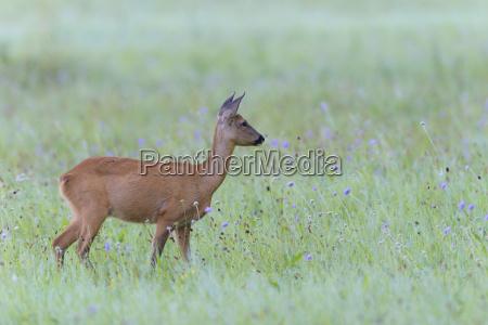 western roe deer capreolus capreolus in