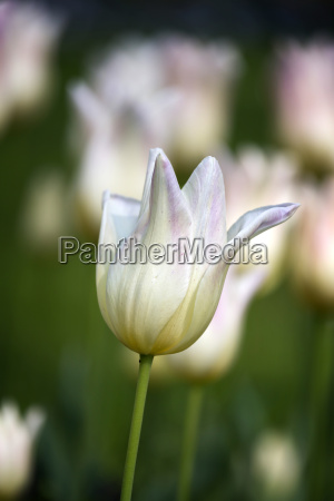 beautiful white tulips in spring