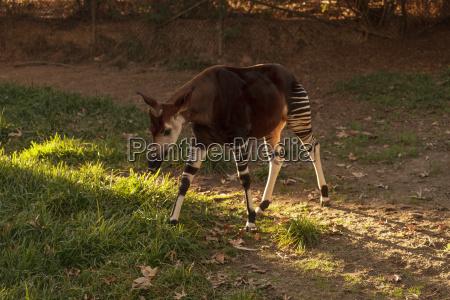 okapi okapia johnstoni is found in