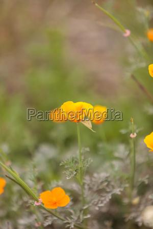 close up of an orange california