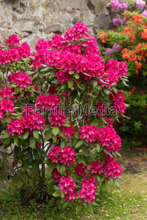 pink azaleas blooms with small evergreen